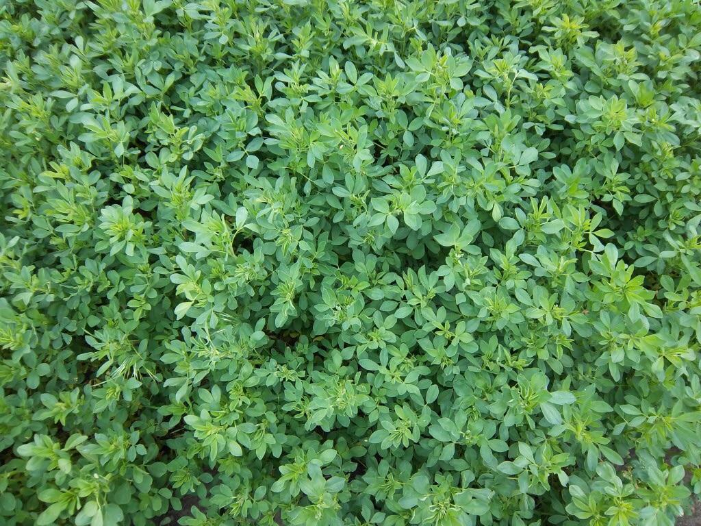 เมล็ดหญ้าอัลฟาฟ่า (Alfalfa Seed)