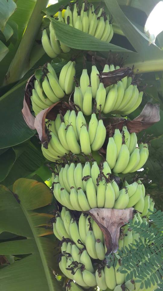 หน่อกล้วยน้ำว้ามะลิอ่อง