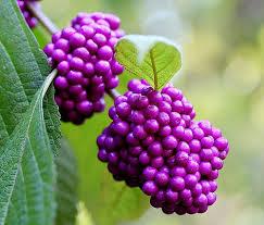 Beauty Berries