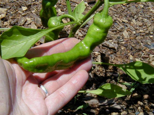 cowhorn pepper (พริกเขาวัว)