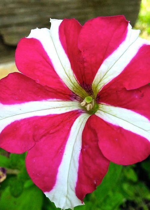 พิทูเนีย ทอนาโด โรส สตาร์ Petunia Tornado Rose Star / 100เมล็ด