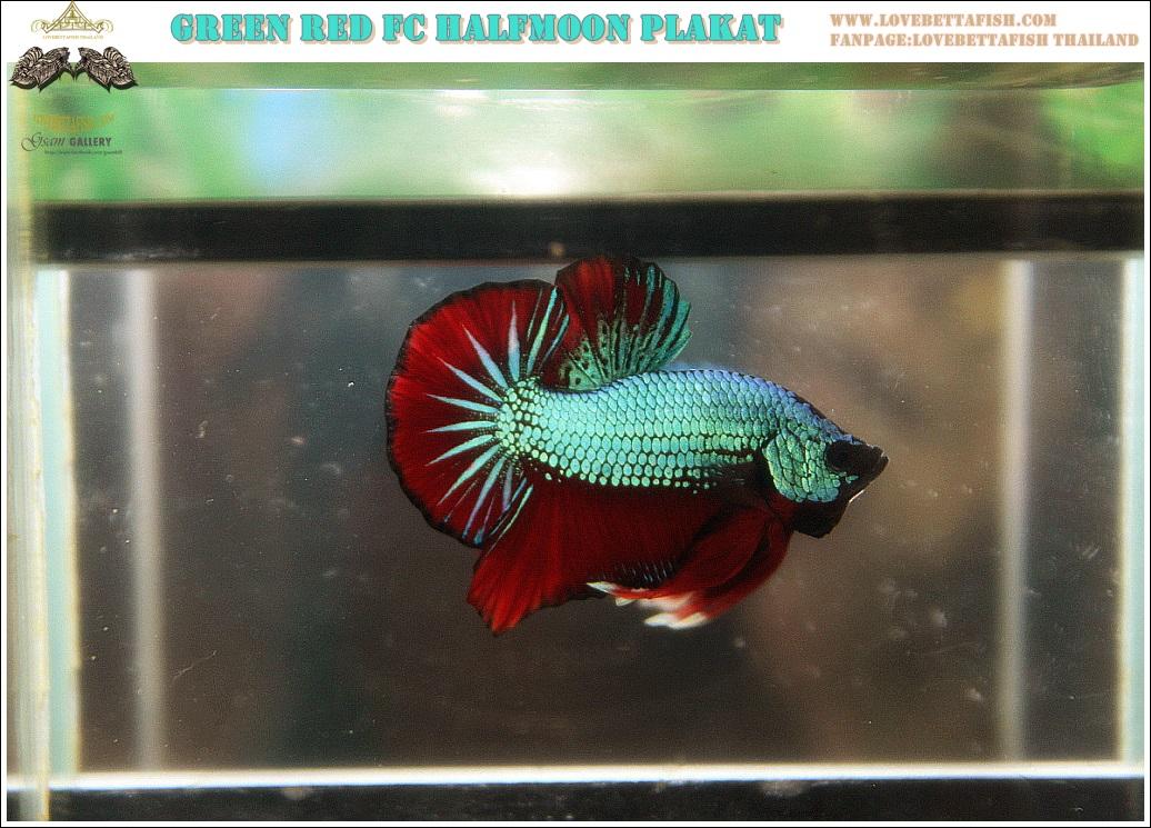 """(ขายแล้วครับ)""""คัดเกรด""""ปลากัดครีบสั้น-Halfmoon Plakats Fancy Green Red Dragon Quality Grade"""