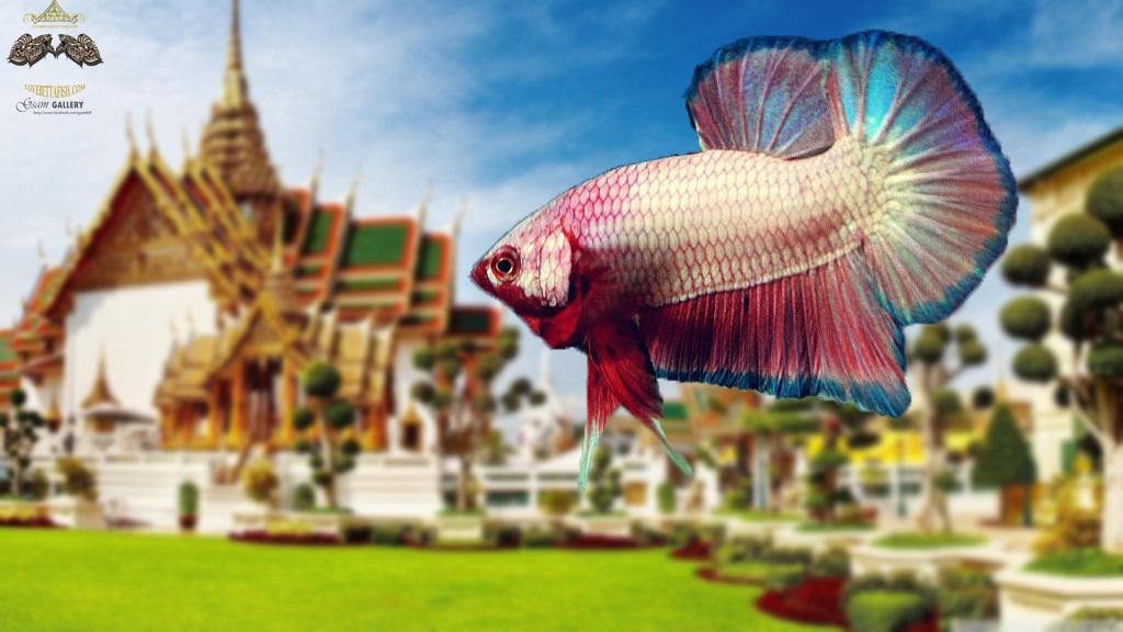 """(ขายแล้วครับ)ตอนรับปีใหม่""""คัดเกรด""""ปลากัดครีบสั้น-Halfmoon Plakats Pink Man"""