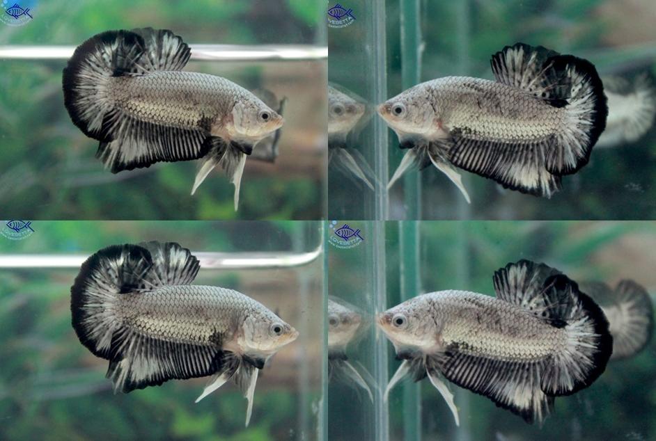"""(ขายแล้วครับ)""""คัดเกรด""""ปลากัดครีบสั้น-Halfmoon Plakats Black Dragon"""
